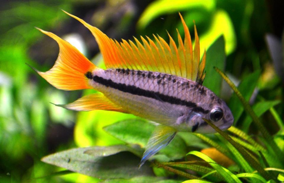 Apistogramma_cacatuoides-orange-flash