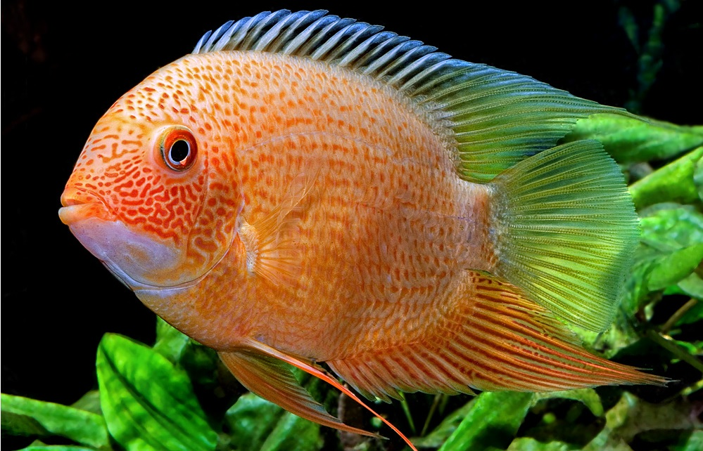Red spot severum Gold