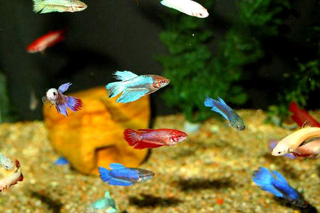 betta_splendens_7_reference
