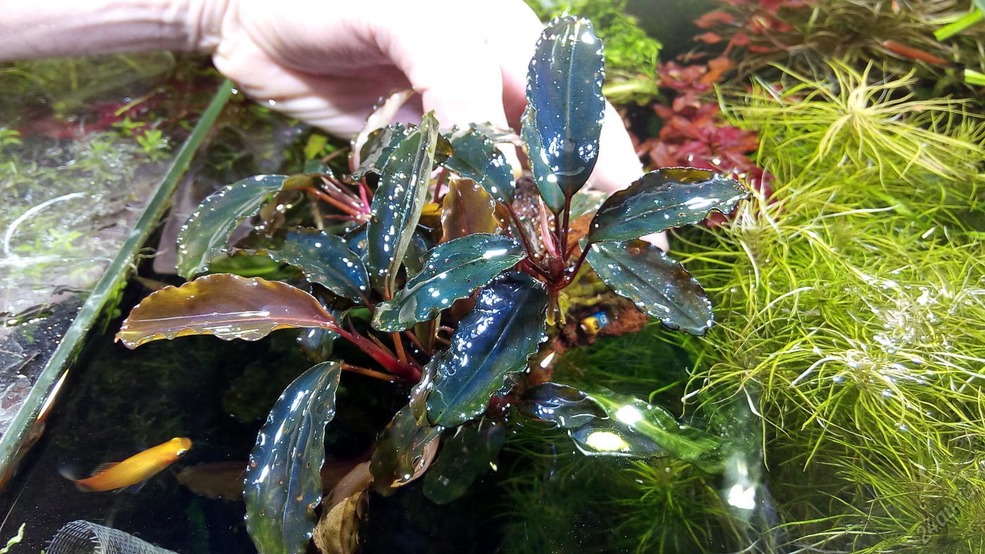 bucephalandra-sp-theia-9-36-1-6244804