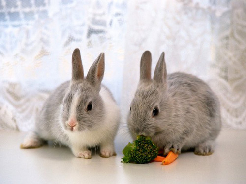 fancy-rabbit-food_big