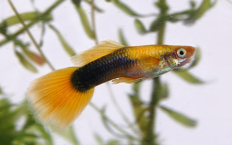Yellow-Tuxedo-Guppy-Male