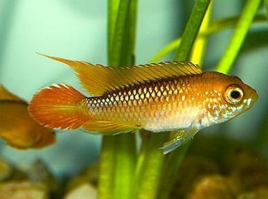 apistogramma_agassizii_fire_red_3
